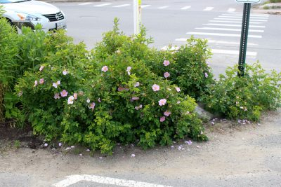 Wild rose on the edge of a parking lot and main street