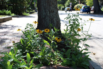 Black-eyed coneflower
