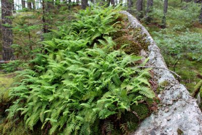 Rock Polypody