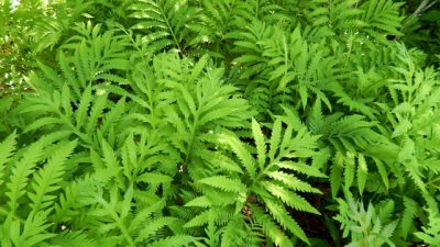 Sensitive Fern