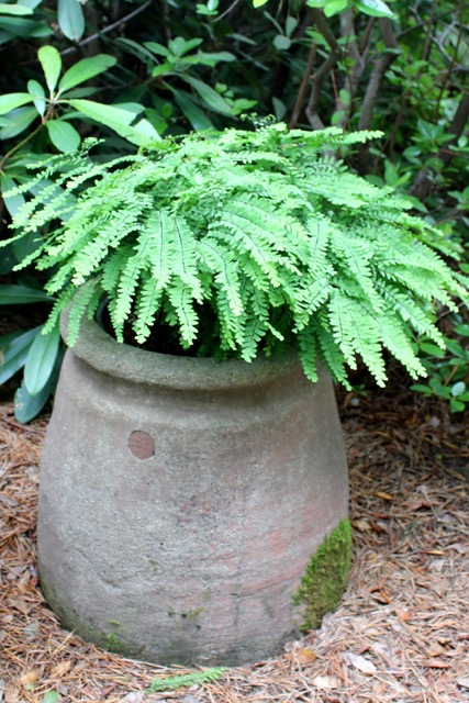 Ferns Ancient Plants For 21st Century Landscapes Wild Seed Project