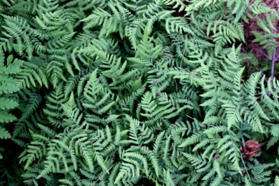 Northern Oak Fern