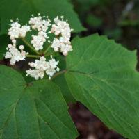 V. acerifolium in flower