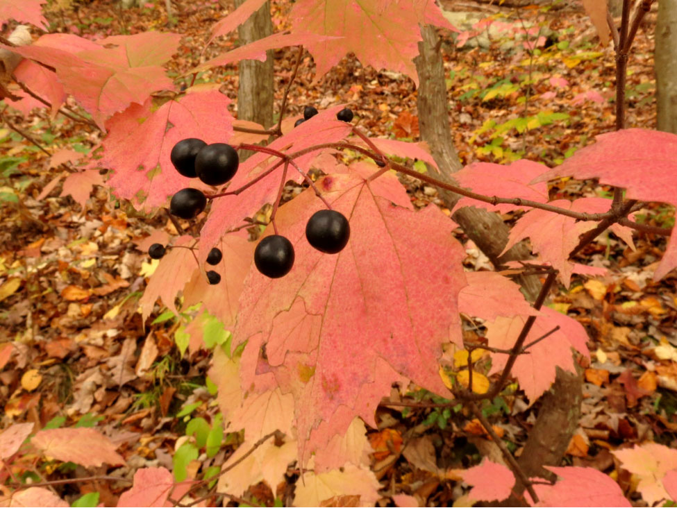 The beautiful black berries of V. acerifolium