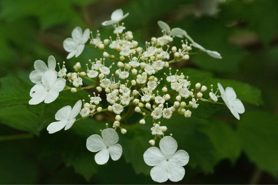 Blooms of V. trilobum
