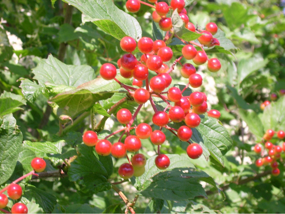 The sour berries of V. trilobum