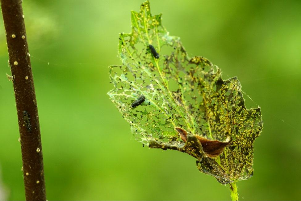 Leaf skeletonized by VLB on Viburnum dentatum leaf