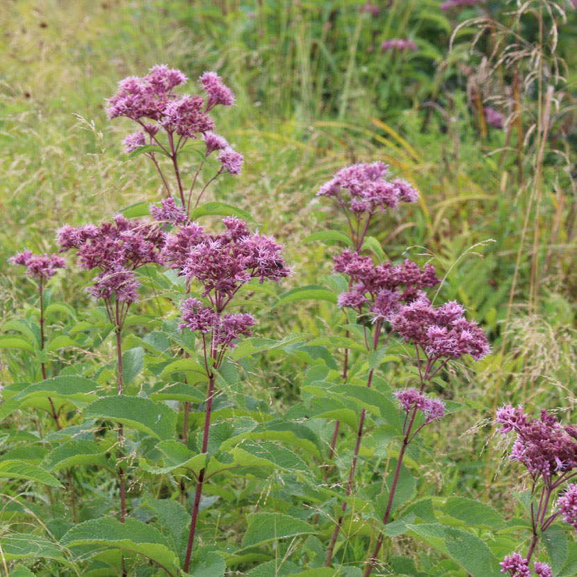 Coastal Joe Pye Weed Eutrochium Dubium Wild Seed Project