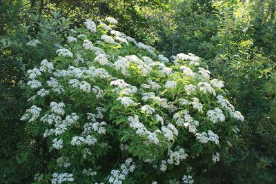 Elderberry plant in bloom
