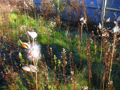 Photograph of milkweed in a meadow