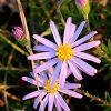 Flax-leaved stiff aster (Ionactis linarifolia)