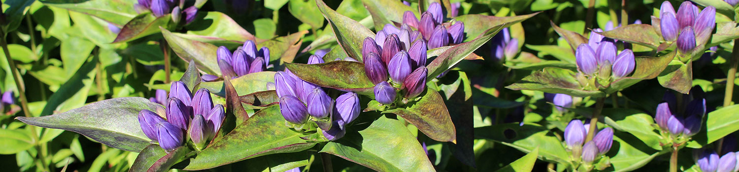 Closed gentian