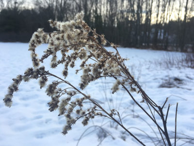 Goldenrod winter