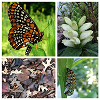 2x2 grid with four photographs: Baltimore checkerspot butterfly, turtlehead, leaf litter, and chrysalis